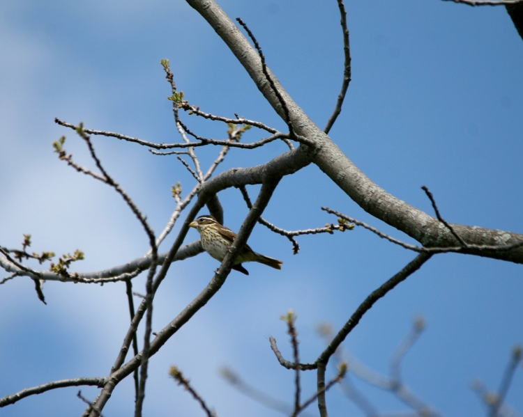 Rose-breasted Grosbeak (female)