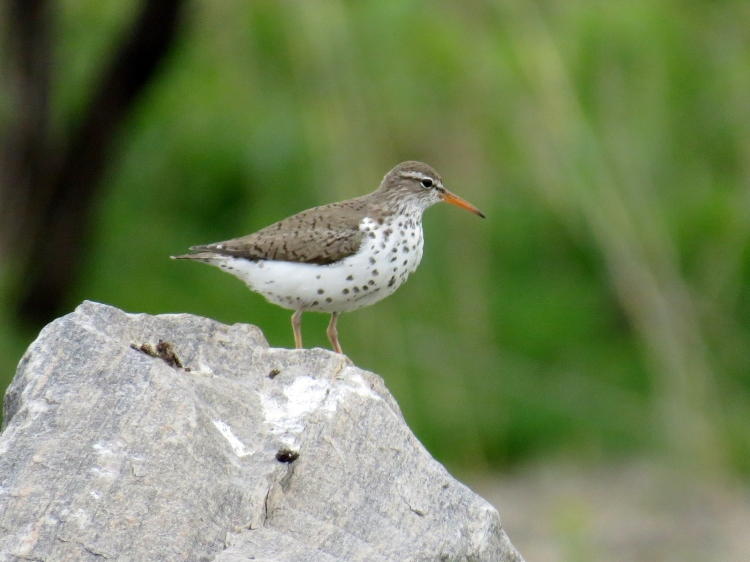 Spotted Sandpiper resting atop sign at Windermere Basin, Hamilton