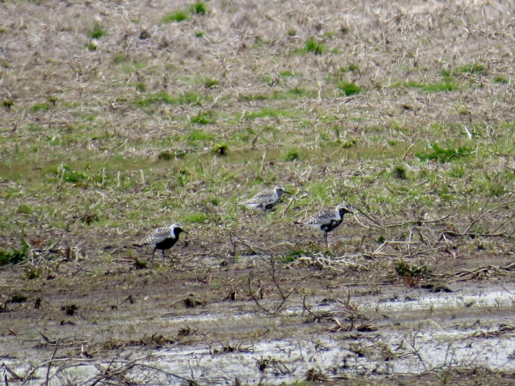 three Black-bellied Plovers