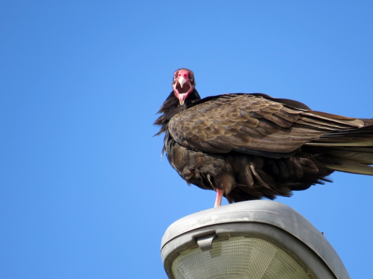 Turkey Vulture yawning as it rests atop streetlight
