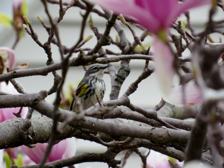Yellow-rumped Warbler in Magnolia tree