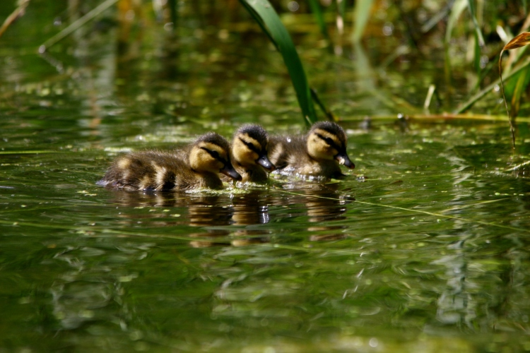 A trio of Mallard ducklings