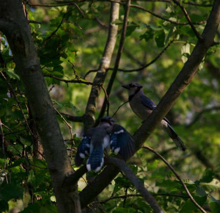 Adult and juvenile Blue Jays
