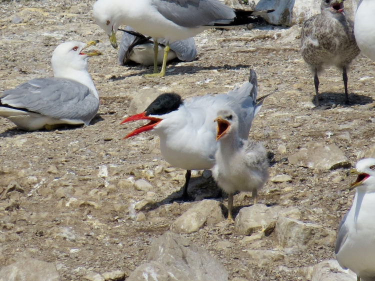 Adult and juvenile Caspian Terns