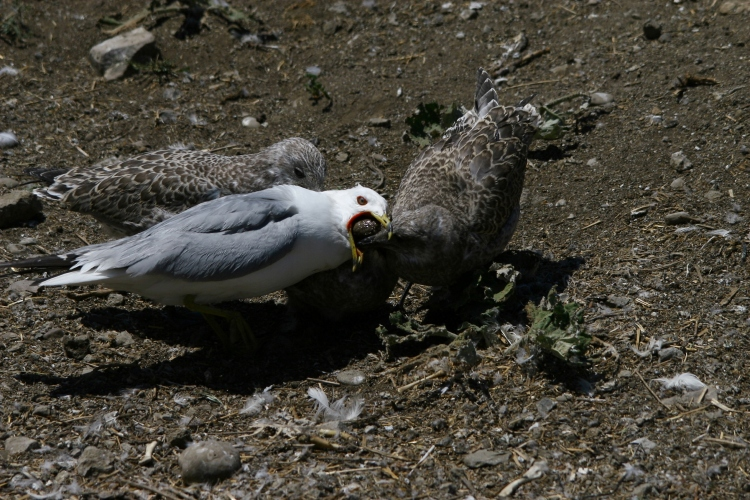 Adult Ring-billed Gull regurgitates food for its young