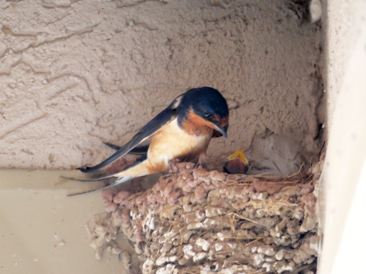 Barn Swallow and nestling