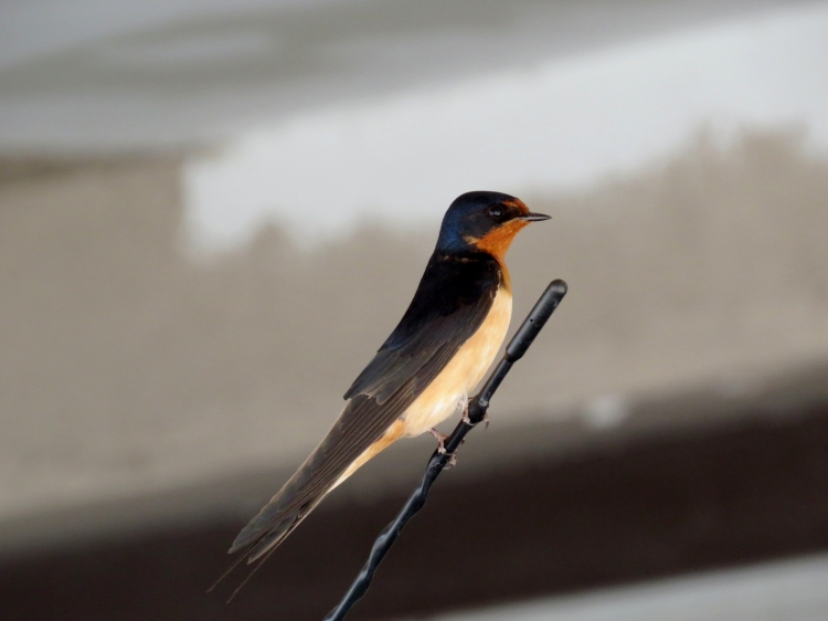 Barn Swallow resting on the antennae of a parked automobile