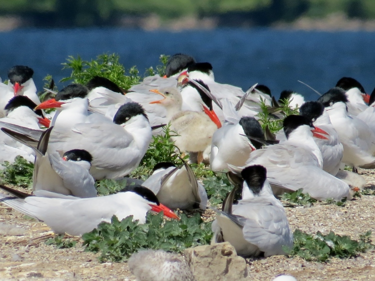 Caspian Tern and young