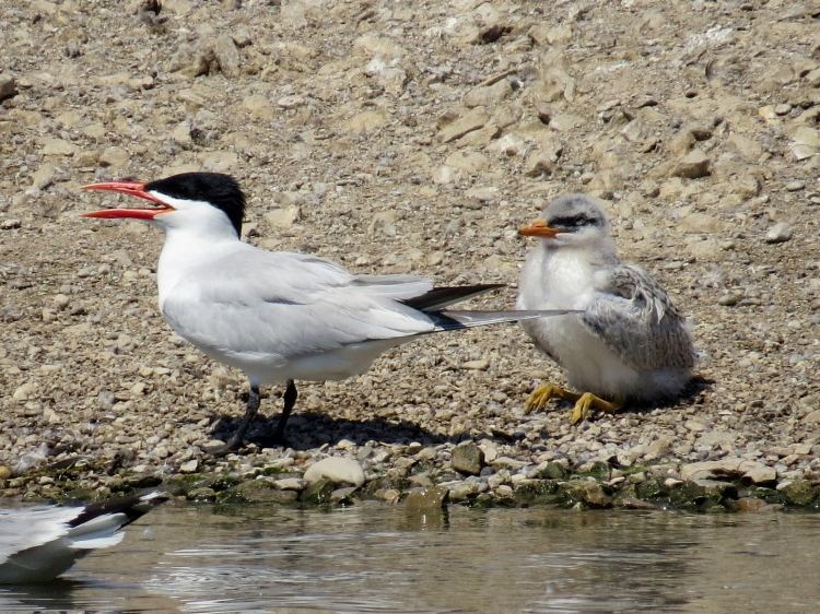 Caspian Tern chick and parent at water's edge