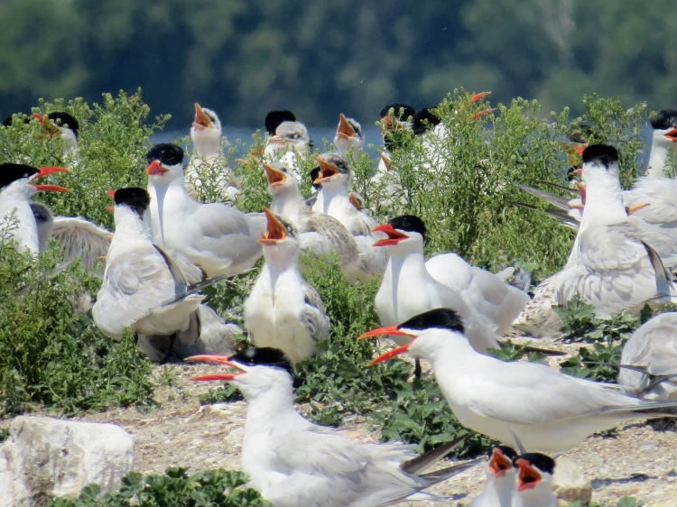 Caspian Tern choir - there is always one that never joins in