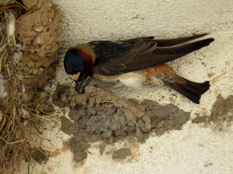 Cliff Swallow constructing nest