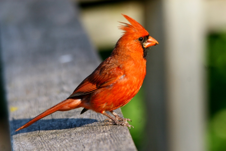 Exasperated male Cardinal seeking a handout to assist with raising Juvenile Brown-headed Cowbird