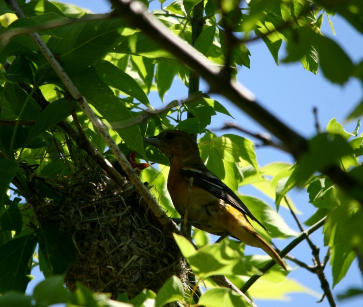 Female Baltimore Oriole feeding her nestlings