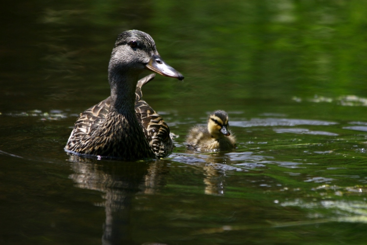 Female mallard and her duckling