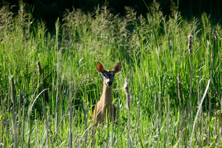 female White-tailed Deer observed at Hendrie Valley