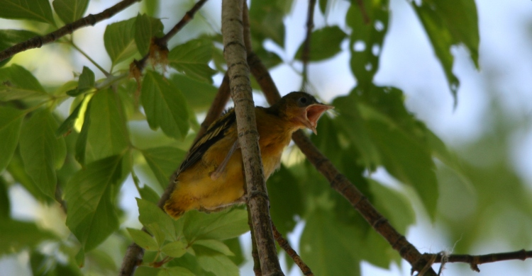 Fledgling Baltimore Oriole asking to be fed