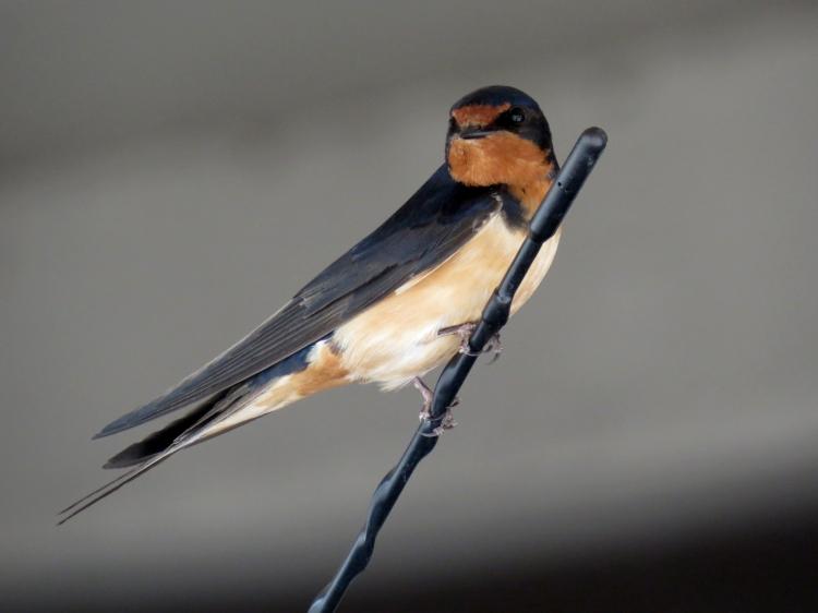 vigilant Barn Swallow