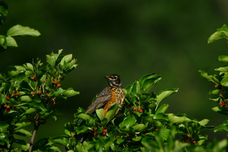 Juvenile American Robin in mulberry bush