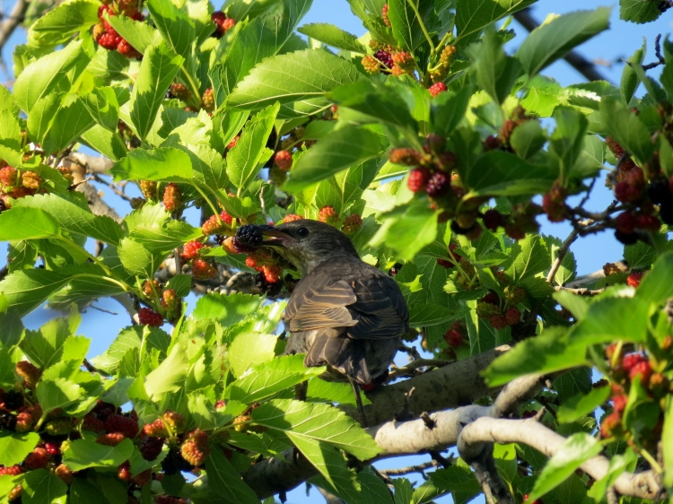 Juvenile European Starling feeding on berries