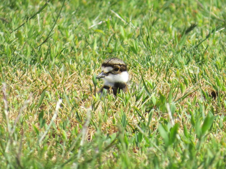 Killdeer chick sitting resting in the grass