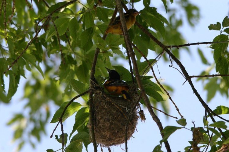 Male Baltimore Oriole attending to nestling while fledgling sits on branch above
