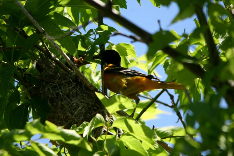 Male Baltimore oriole feeds his nestlings
