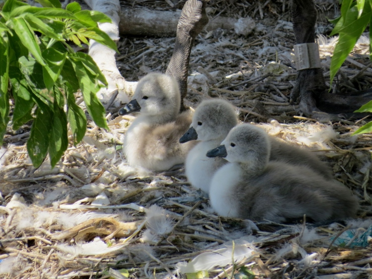 Mute Swan cygnets resting in the shade