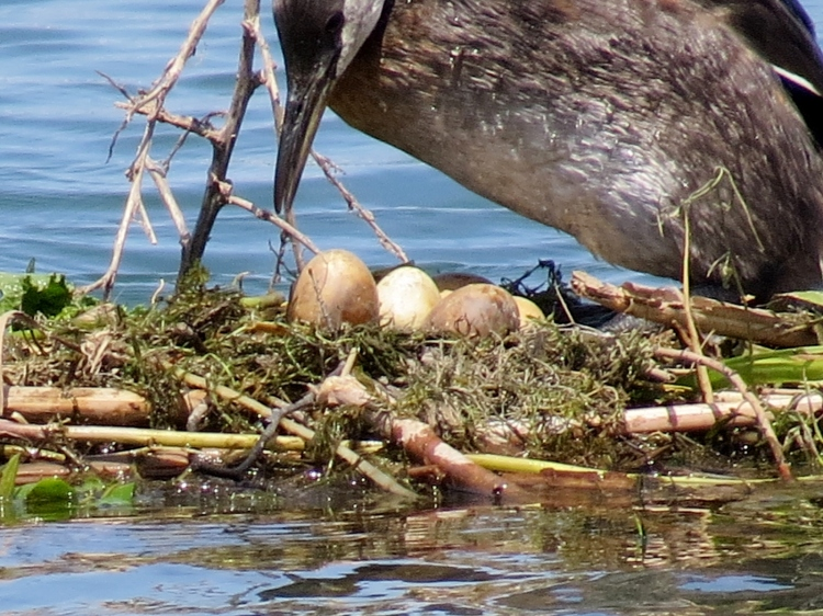 Nesting Red-necked Grebe No. 2 standing allowing for view of eggs