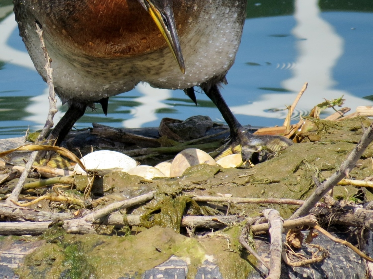 Nesting Red-necked Grebe No. 2 stands allowing view of eggs