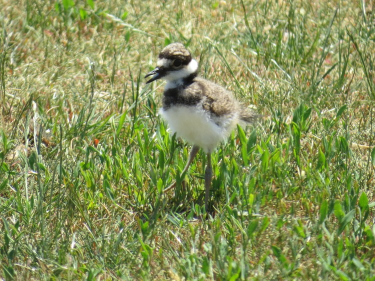 Only one of the two Killdeer chicks have survived