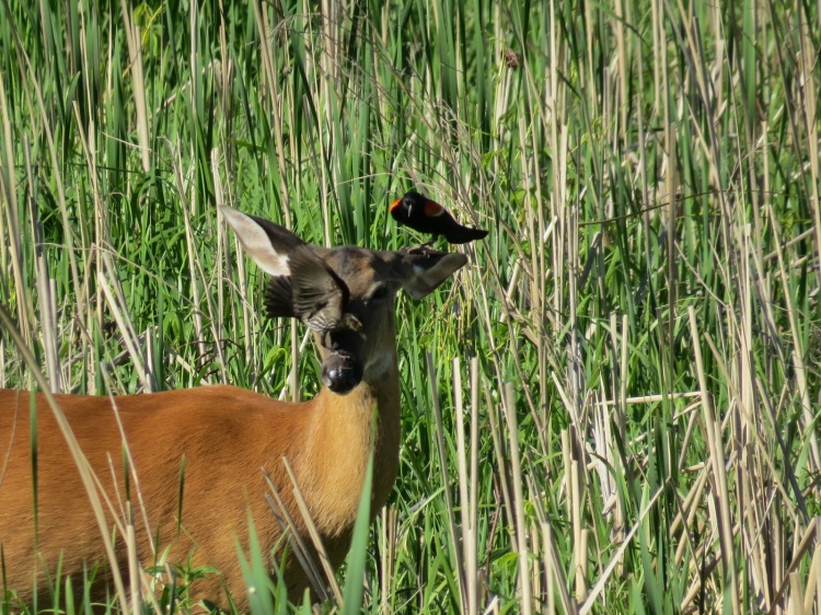 Red-winged Blackbirds on the deer