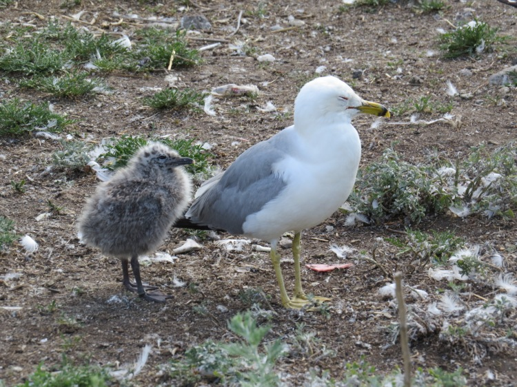 Ring-billed Gull and chick