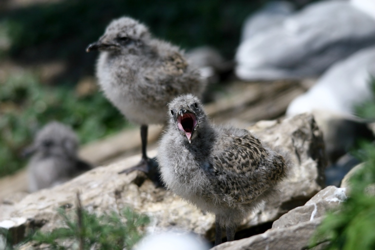 Ring-billed Gull chick begging to be fed