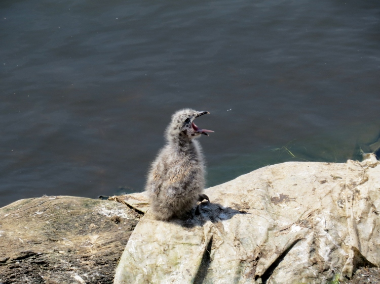 Ring-billed Gull chick