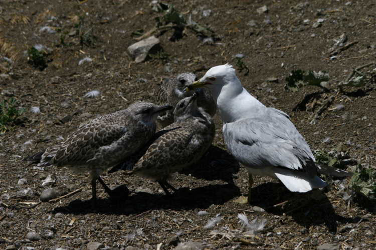 Ring-billed Gull chicks harassing adult for food