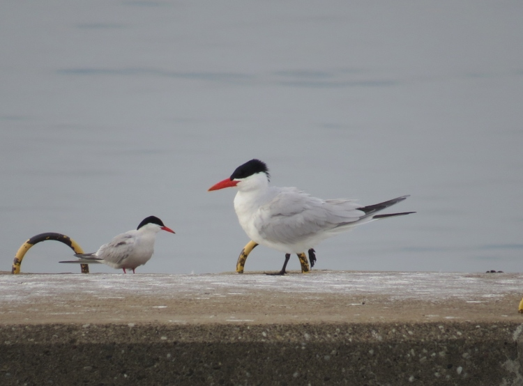 Size comparison - Common Tern on left and Caspian Tern on right