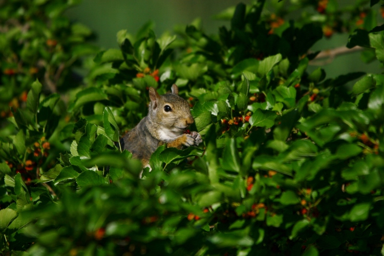 Red squirrel enjoying berries of mulberry bush