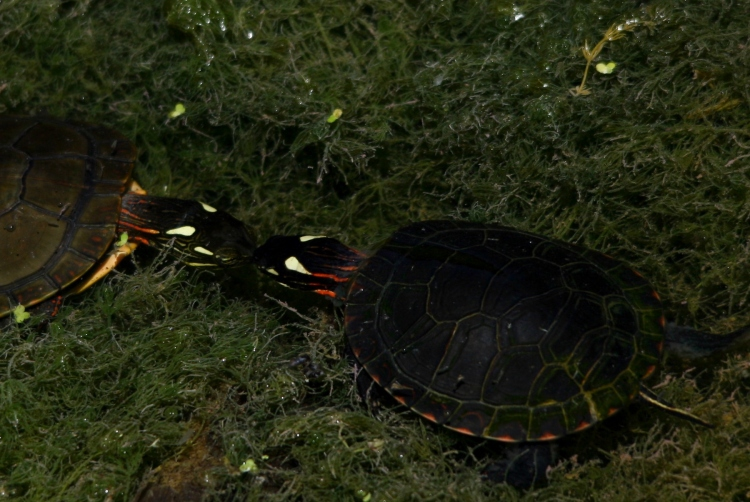 Tiny Painted Turtles appearing to kiss