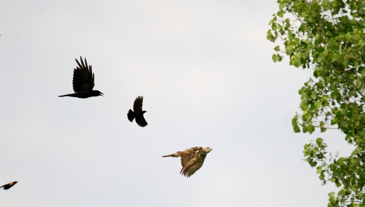 American Crows and Red-winged Blackbirds mobbing Red-tailed Hawk at Hendrie Valley.
