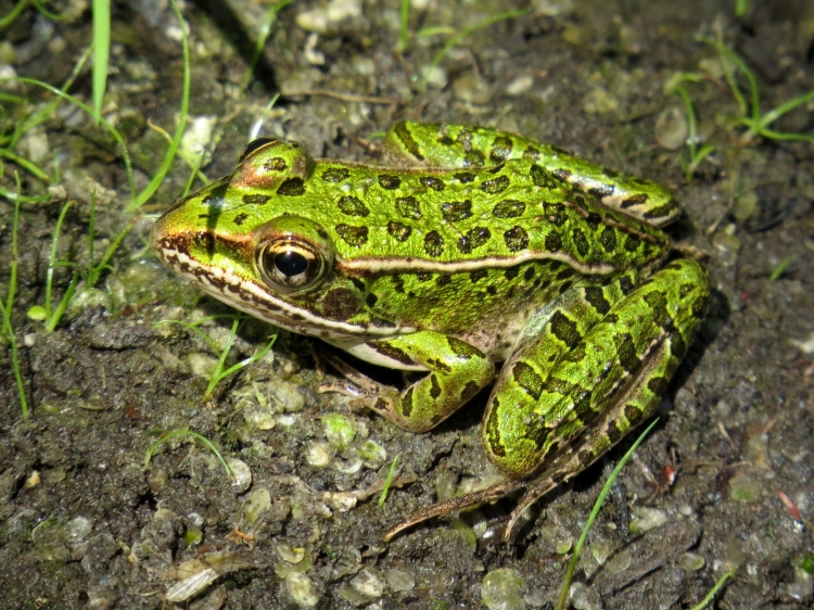 Another green frog