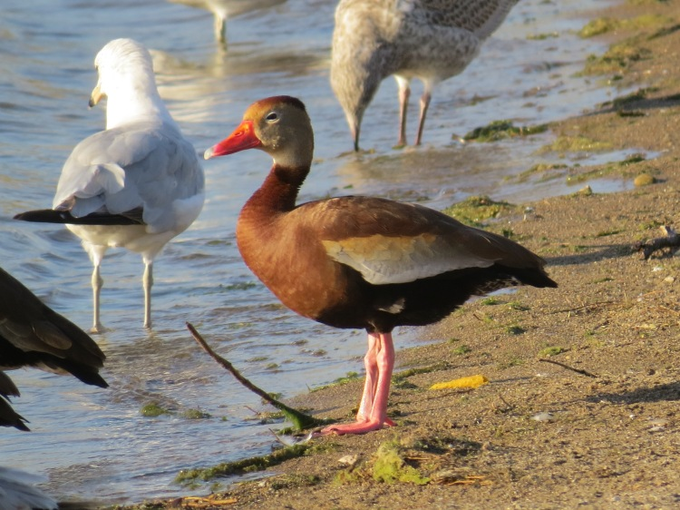 Black-bellied Whistling Duck on the beach