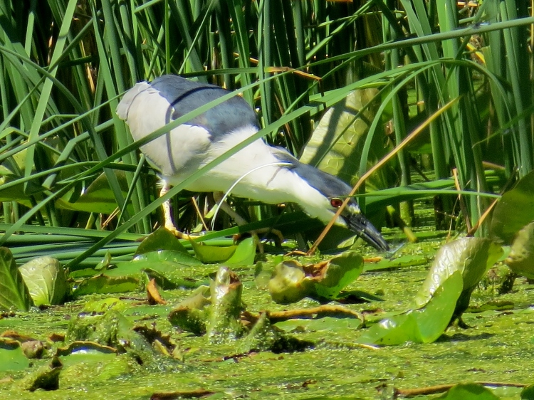 Black-crowned Night Heron hunting