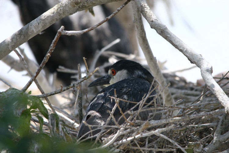 Black-crowned Night-Heron on a nest