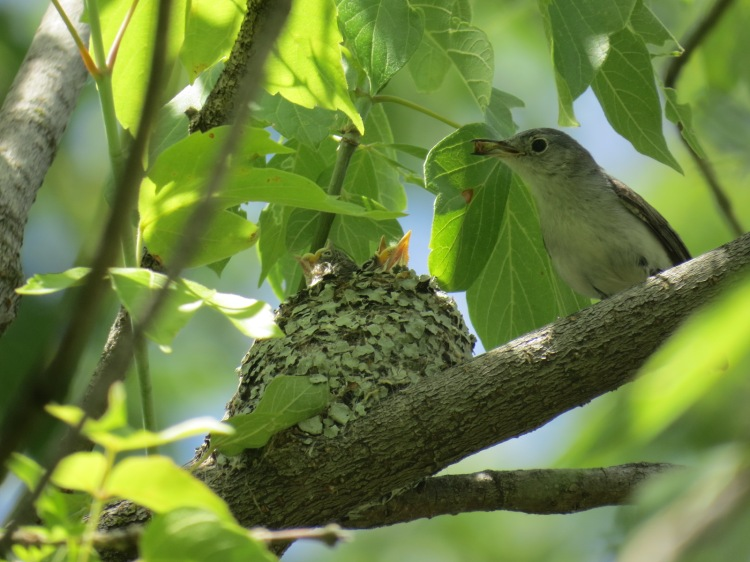 Blue-gray Gnatcatcher brings an insect to feed two hungry nestlings