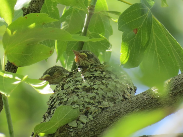 Close-up photograph of the nestlings taken on June 30, 2016.