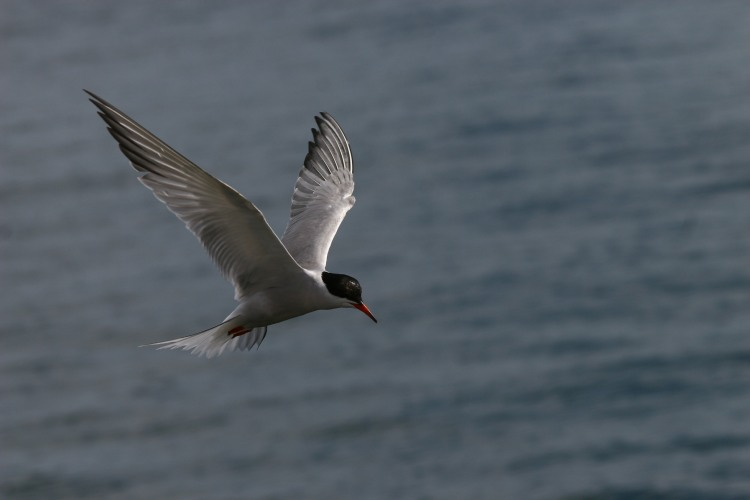 Common Tern hovering over potential prey