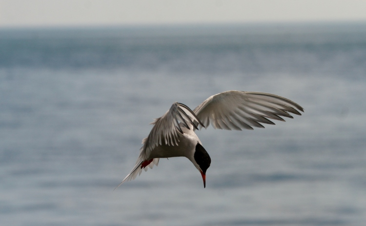 Common Tern searching water for prey