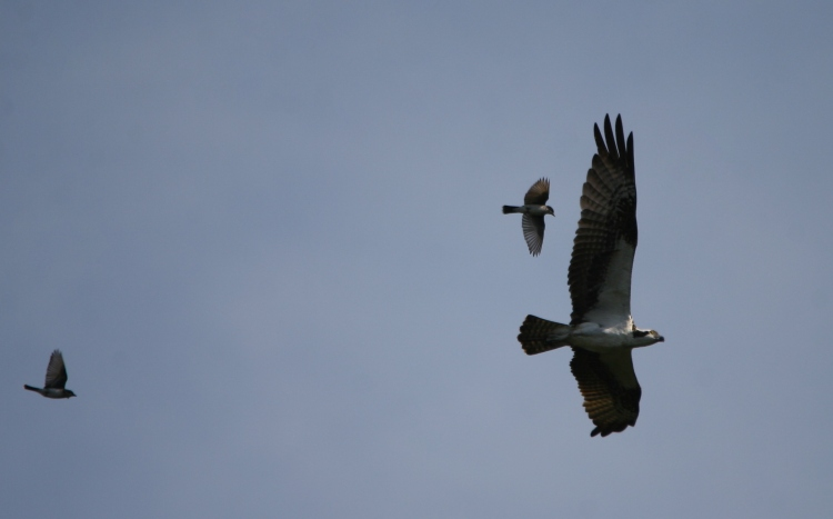 Eastern Kingbirds chasing Osprey from their territory