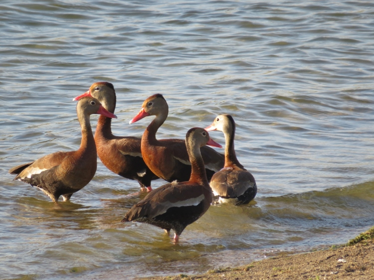 Five Black-belled Whistling Ducks