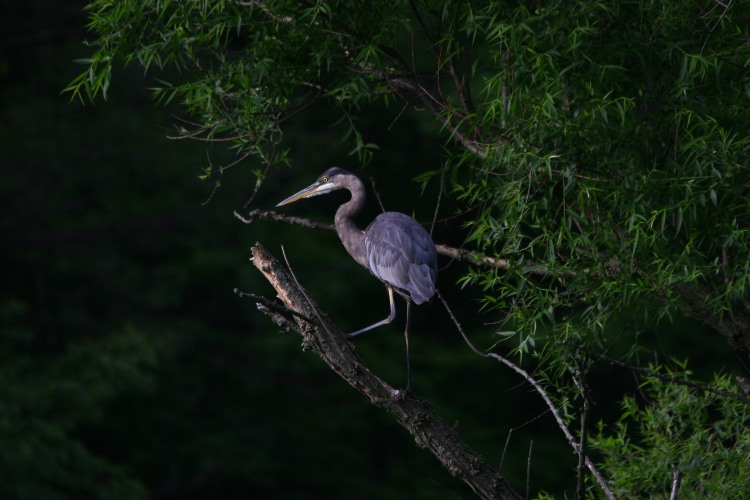 Great Blue Heron climbing a tree trunk